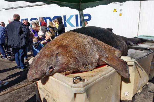 """Grönlandhai oder Eishai - mutiert bis in ein paar Monaten zu """"Hakarl""""..."""