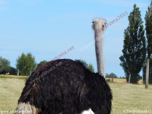 Zarahzetas Tiere Fotowand mit Vogel Strauß von hinten