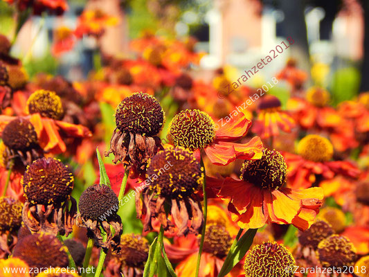 Sommermohnfeld mit orangen Mohnblumen