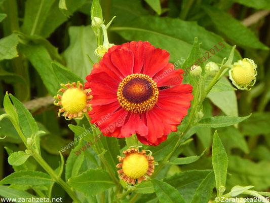 Rote Sonnenbraut als Florales Sonnensystem