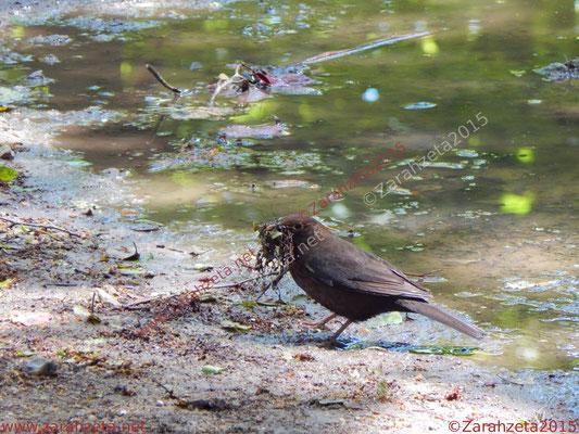 Stadtvogel mit Nestmaterial im Schnabel