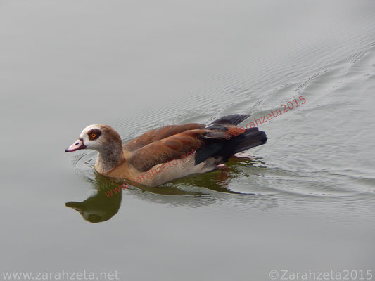 Zarahzetas Tiere Fotowand mit ägyptische Gans auf dem See