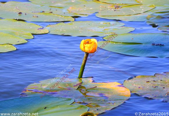 Zarahzetas Naturfotos mit Gelbe Seerose und Wespe