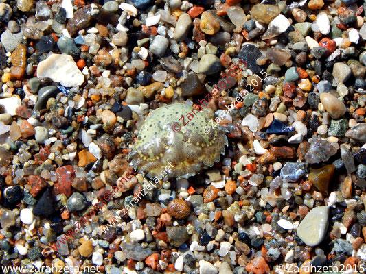 Strandkrabbe am Strand als Chamäleon