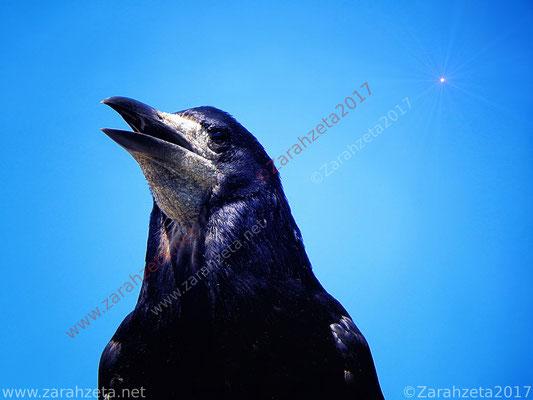 Schwarze Krähe vor blauem Himmel