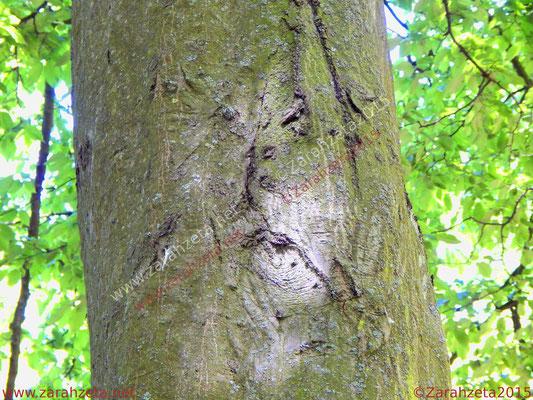 Zarahzetas Naturfotos mit Baumgesichter