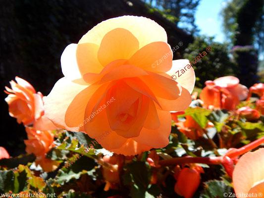 """Zarahzetas Naturfotos mit oranger Rose als """"O-Rose"""""""