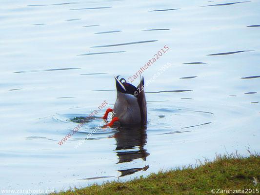 Tauchende Ente kopfüber im See