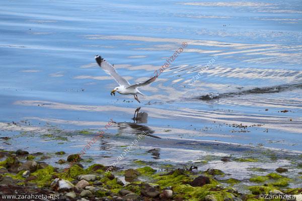 Fliegende Seemöwe mit Beute im Schnabel