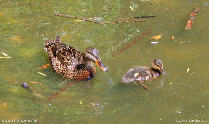 Entenmutter mit Küken im Wasser