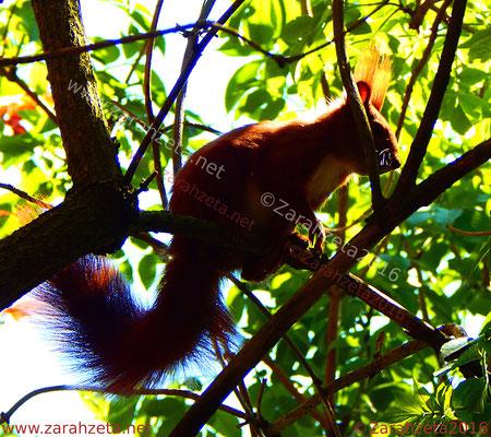Rotes Eichhörnchen als Punk