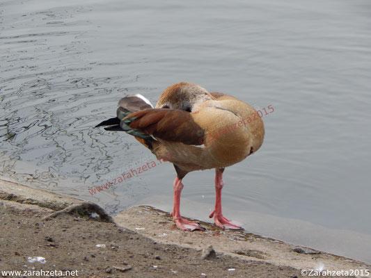 Zarahzetas Tiere Fotowand mit ägyptische Gans am Seeufer