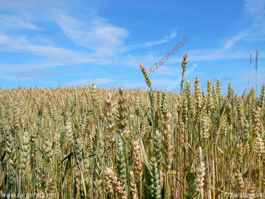 Getreidefeld im Sommer unter blauem Himmel in Nahaufnahme