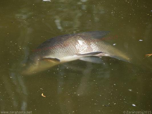 Toter Fisch an Wasseroberfläche