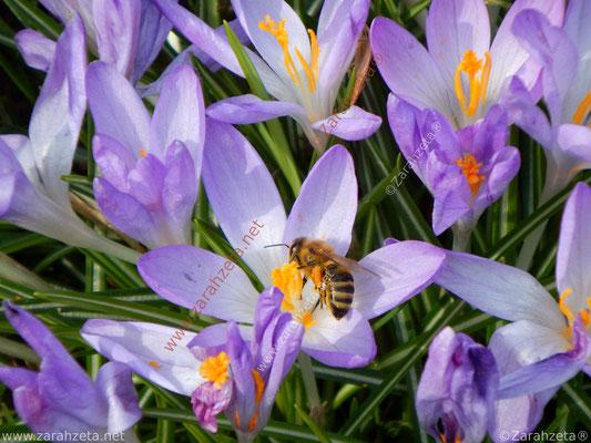 Honigbiene auf lila Krokus