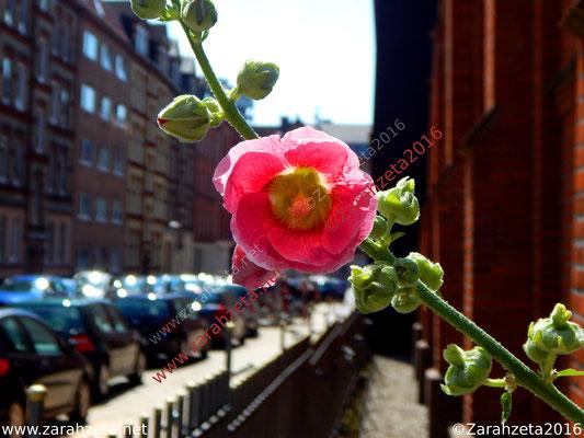 Pinke Stadtblume an der Häuserfront