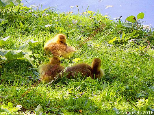 Gelbe Entenküken auf der grünen Wiese