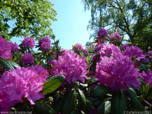 Lilaner Rhododendron von unterer Perspektive