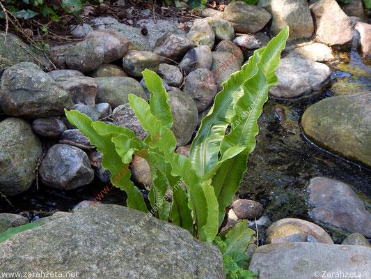 Grüne Wasserähre als Wasserpflanze