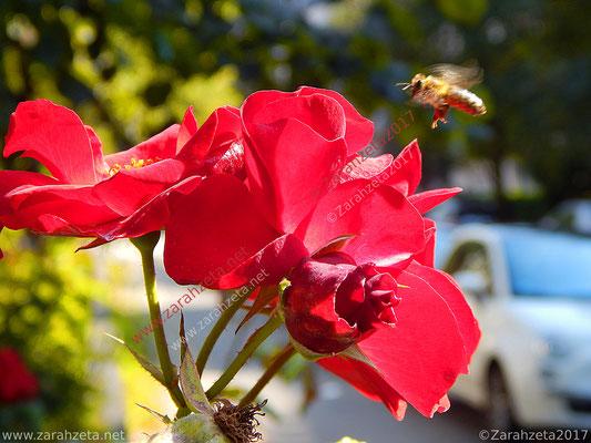Fliegende Stadtbiene über roter Blume