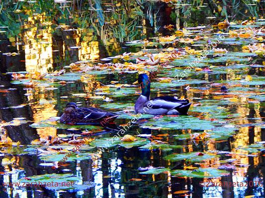 Zwei Enten auf dem Waldsee