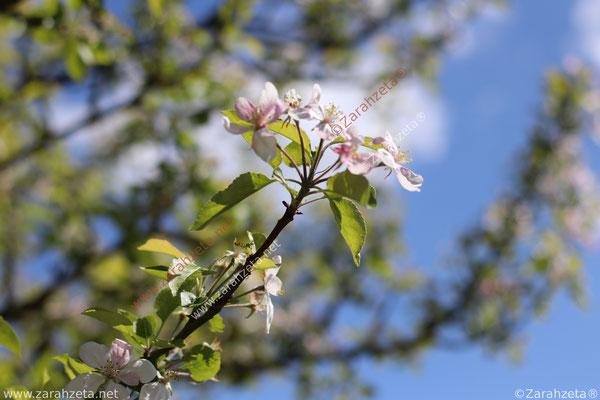 Zarter erste Kirschblüte im Frühling