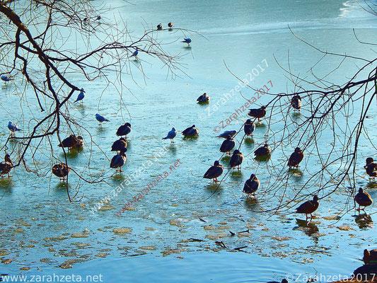 Enten und Möwen auf zugefrorenem See