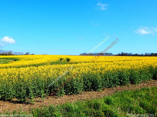 Gelbes Rapsfeld im Sommer