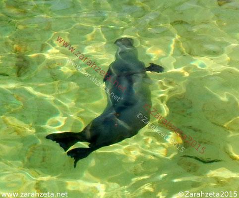 Tauchender Seehund im Wasser
