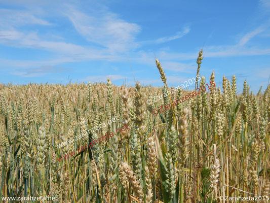 Getreidefeld im Hochsommer