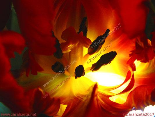 Das beleuchtete Innere einer Tulpe als Makroaufnahme