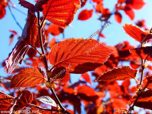 Rote Buchenblätter in der Baumkrone