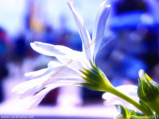 """Weiße Blume als """"le blanc"""" in Makroaufnahme"""