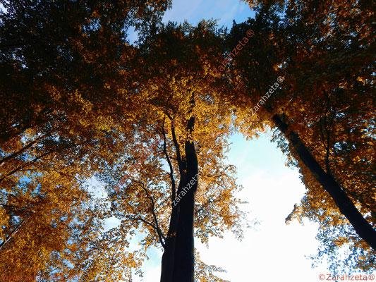Hohe goldene Baumkronen im Herbst