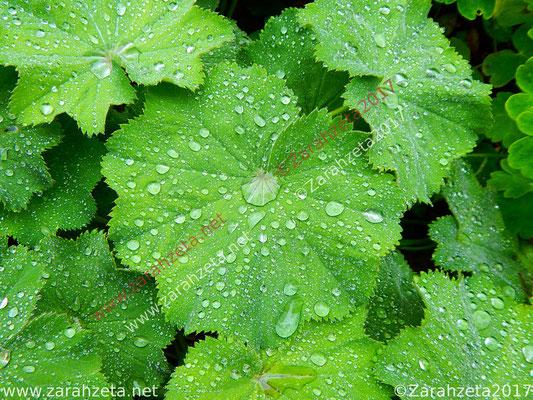 Tautropfen als Tränenmeer auf grünen Blättern
