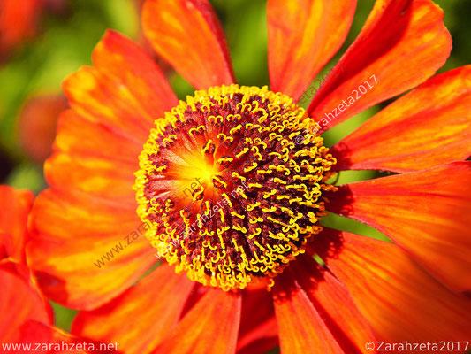 Blütenstempel einer Sonnenbraut als Florale Sonne