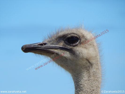Zarahzetas Tiere Fotowand mit Kopf vom Strauß in makro