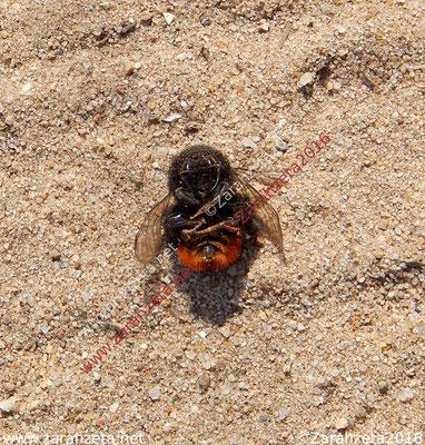Tote Hummel auf dem Sandboden