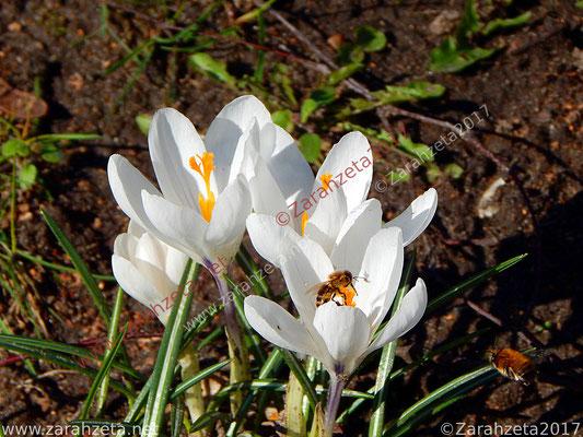 Zarahzetas Naturfotos mit Weiße Krokusse zum Frühlingsanfang