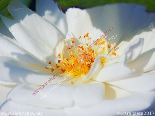 Gelber Blütenstempel als Florales Wirrwarr in Makro