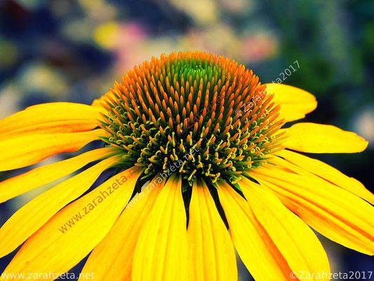 Gelber Sonnenhut und Blütenstempel in Makro