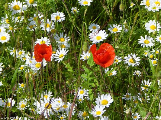 Blumenwiese im Sommer mit rotem Klatschmohn