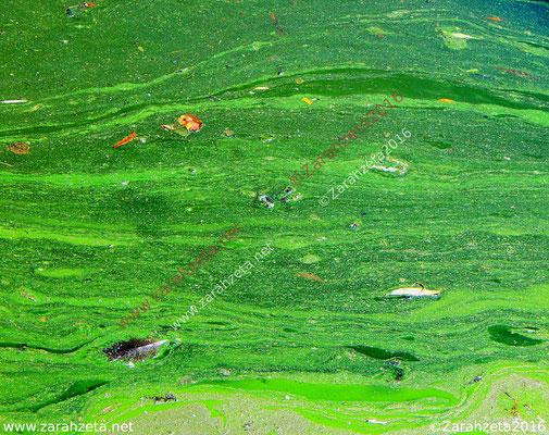 Entengrütze oder Wasserlinse an der Wasseroberfläche