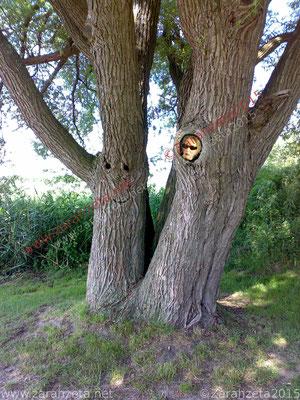 Zarahzeta im Baumstamm als Baumgesicht