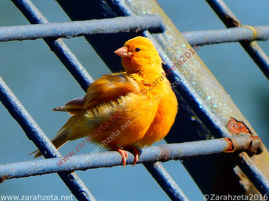 Zarahzetas Tiere Fotowand mit junger Kanarienvogel als Goldvogel
