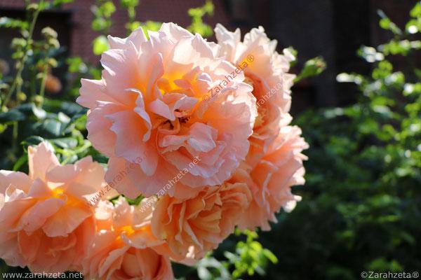 Oranger Rosenbusch