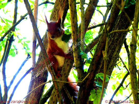 Zarahzetas Tiere Fotowand mit neugieriges Eichhörnchen im Baum