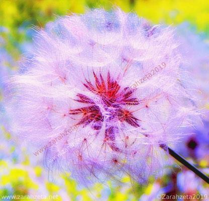 Pinke Distel als magische Pusteblume