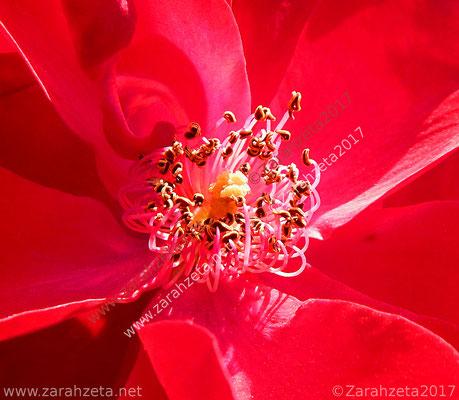 Blütenstempel einer roten Blume als Florale Krone
