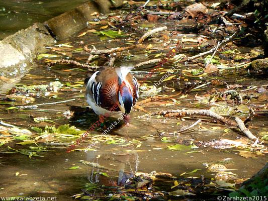 Zarahzetas Tiere Fotowand mit Mandarinente und Spiegelbild